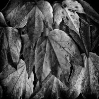 Leaves by MichiLauke
