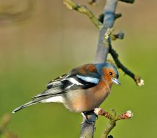 Chaffinch by RichardMacDonald