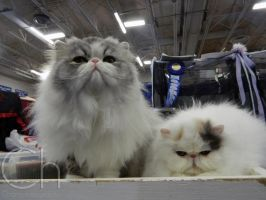 Cat Show 1 by Champineography