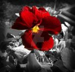 Poppin Red Pansy by GramMoo
