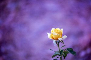 Lone Rose by MaddMedia