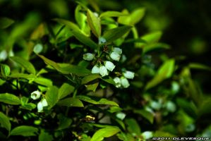 Blueberries in bloom by imonline