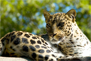 African Leopard NZ10908 by hoboinaschoolbus