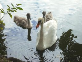 Male Swan and His Family by LordNegaduck