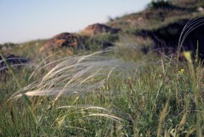 Feather grass in bloom stock #12 by croicroga