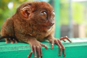 Tarsier by theambivalentmind
