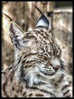 Animal at Zoo - Lynx by akmanotof
