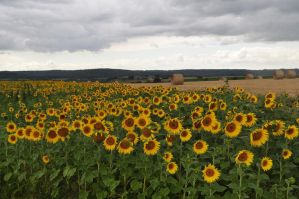 Sunflower Field by Chihito