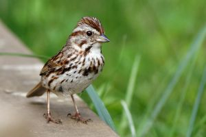 Song Sparrow by Jay-Co