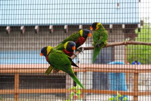 Zoo 10 Rainbow Lorikeet by PirateLotus-Stock