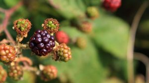 Blackberry by JamesDensham