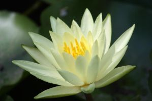 Water lilly 413 by fa-stock