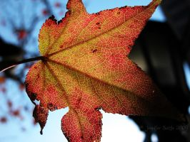 Autumn Leaf by jayshree