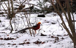Golden Pheasant. by quaddie