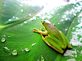 Frog On a Leaf by dazombiekila
