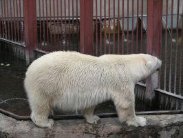 Stock: Polar bear 2 by Think-Outside-Of-Box