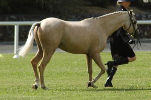 Palomino-riding-pony-36 by tbg-stock-images