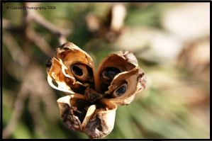 seed pod by Nariane