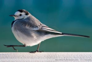 White wagtail by LInconnu24