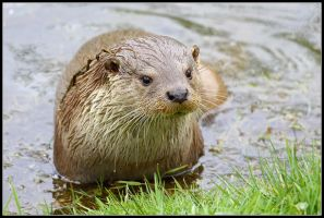 Eurasian River Otter by nitsch