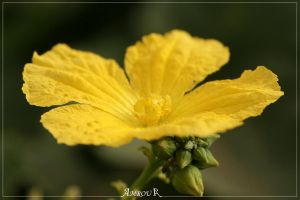 yelow flower by AMROU-A