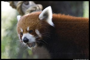 Red Panda: Messy Eater by TVD-Photography