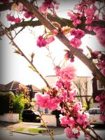 Cherry Blossom 7 by this-is-the-life2905