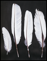 Eurasian spoonbill feathers - part_3 by TichodromaMuraria