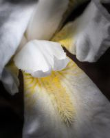 One More Iris by drhine