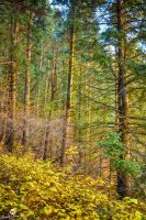 Morning Sun on the Pines by mjohanson