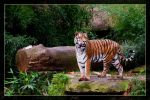 Siberian tiger posing by deaconfrost78