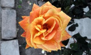 Rose orange and yellow by Johnny-Aza