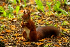 Squirrel with nut by Tamersa