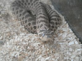 hognose by theDevineartist