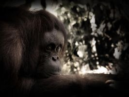 Eyes of an Orangutan by aajohan