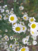 Miniature Daisies by lampshaded-stock