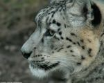 Snow Leopard Wallpaper by leopatra-lionfur