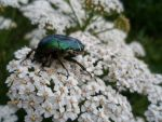 Beetle by Chippia