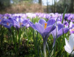 Meadows of Crocusses by DuchesseOfDusk