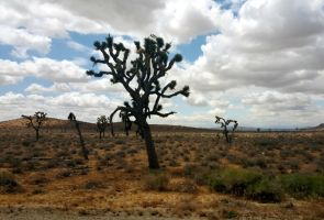 Joshua Trees by andromeda