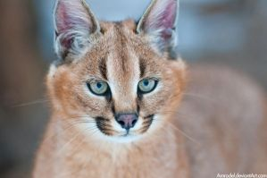 Little Caracal IV by amrodel