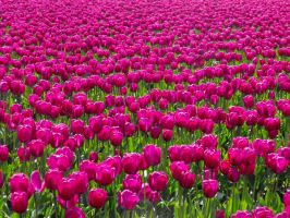 Purple Tulips III by Photos-By-Michelle