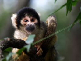 Common Squirrel Monkey 2 by samboardman