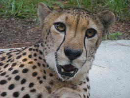 Cheetah by JoeAllen32