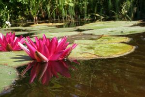 Water Lily 10 by CD-STOCK