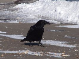 Hungry Raven by Cainamoon