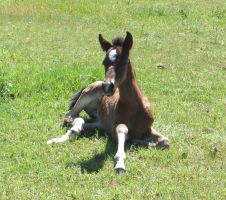 Colt by SalsolaStock