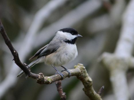 Carolina Chickadee - defender of the nest by TimotheusP