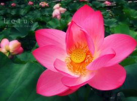 Lotus by AlexandruGatea