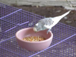 Wild budgie FOOD AT LAST by Sorath-Rising